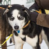 Beautiful alaska husky dogs at the finish line of a sled dog race. Beautiful portrait of a man`s best friend Royalty Free Stock Photo