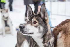 Beautiful alaska husky dogs at the finish line of a sled dog race. Beautiful portrait of a man`s best friend Royalty Free Stock Images