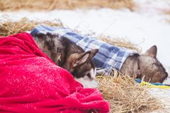 Beautiful alaska husky dogs resting during a sled dog race. Long distance sled dog race in Norway Royalty Free Stock Photo