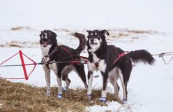 Beautiful alaska husky dogs resting during a sled dog race. Long distance sled dog race in Norway Royalty Free Stock Image