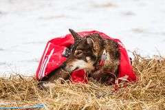 Beautiful alaska husky dogs resting during a sled dog race. Long distance sled dog race in Norway Stock Photo