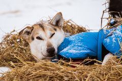 Beautiful alaska husky dogs resting during a sled dog race. Long distance sled dog race in Norway Royalty Free Stock Photos