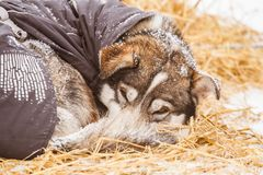 Beautiful alaska husky dogs resting during a sled dog race. Long distance sled dog race in Norway Stock Images