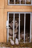 Beautiful alaska husky dogs waiting for a sled dog race to start. Cute portrait of a man`s best friend Stock Photo