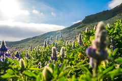 Beautiful Alaskan Lupine field during warm summer day in Iceland royalty free stock photo