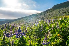 Beautiful Alaskan Lupine field during warm summer day in Iceland stock photos