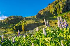 Beautiful Alaskan Lupine field during warm summer day in Iceland stock photography