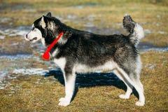 Beautiful Alaskan Malamute Dog Outdoor Stock Photography