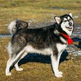 Beautiful Alaskan Malamute Dog Outdoor. Beautiful Alaskan Malamute Dog Staying Outdoor In Spring Royalty Free Stock Photography