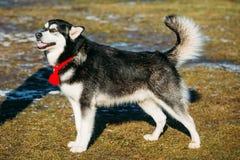 Beautiful Alaskan Malamute Dog Outdoor Stock Image