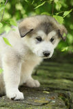 Alaskan Malamute puppy under the twigs of birch Stock Image