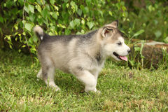 Alaskan Malamute puppy under the twigs of birch Stock Photo