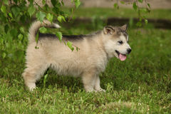 Alaskan Malamute puppy under the twigs of birch Royalty Free Stock Photography
