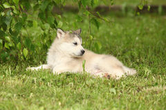Alaskan Malamute puppy under the twigs of birch Stock Photos