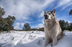 Beautiful alaskan malamute in a snowy environment Stock Images