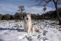 Beautiful alaskan malamute in a snowy environment Royalty Free Stock Images