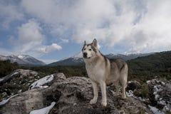 Beautiful alaskan malamute in a snowy environment Stock Photography