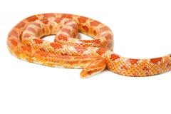 Beautiful Albino corn snake Stock Images