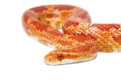 Beautiful Albino corn snake Royalty Free Stock Image