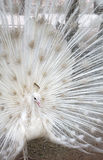 Beautiful albino peacock spread tail-feathers Royalty Free Stock Photography