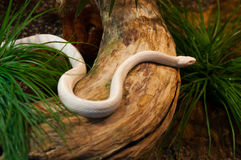Beautiful albino snake crawling Stock Photo