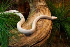 Beautiful albino snake crawling Stock Photo