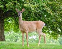 Doe Deer. Beautiful alert doe deer on a summer day royalty free stock image