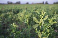 Beautiful alfalfa field. Leaves detail. Stock Image