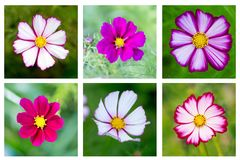 Beautiful all the favorite flowers of the Cosmos. Royalty Free Stock Photography