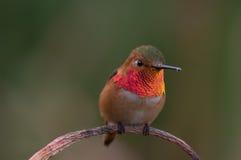 Beautiful Allen`s hummingbird. Male Allen`s Selasphorus sasin hummingbird up close showing vibrant iridescence Stock Image