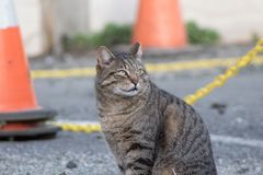 Gazing Alley Cat. Beautiful alley cat stares into the distance at the sun Royalty Free Stock Images