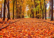 Beautiful alley of golden maple trees. Wide angle view of beautiful alley of golden maple trees in Moscow university campus royalty free stock images
