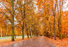 Beautiful alley of golden maple trees. Wide angle view of beautiful alley of golden maple trees in Moscow university campus stock images