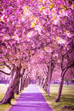 Beautiful alley of Japanese Cherry tree in bloosom Royalty Free Stock Photo
