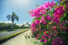Beautiful alley in the park, caribbean resort with flowers and p Stock Photos