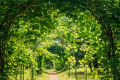 Beautiful Alley In Park. Walkway Lane Path Through Pergola With. Green Leaves Of Vitis Palmata In Garden. New World Species Of Tall, Climbing Liana In Grape royalty free stock images