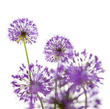 Beautiful Allium / Abstract On White Royalty Free Stock Images