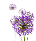 Beautiful Allium / abstract  on white Royalty Free Stock Photos