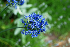 Beautiful allium flower Stock Image