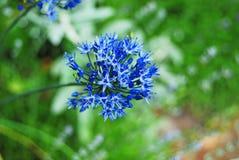 Beautiful allium flower Royalty Free Stock Photo