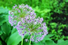 Beautiful allium flower Royalty Free Stock Images