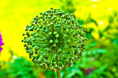 Beautiful Allium Flower Head Stock Photo