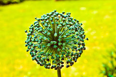 Beautiful Allium Flower Head Stock Photos