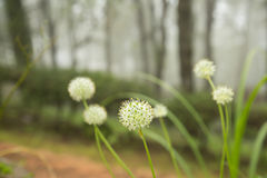 Beautiful Allium tuberosum flowers and dew drops. Royalty Free Stock Images