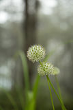 Beautiful Allium tuberosum flowers and dew drops. Royalty Free Stock Photos