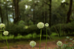 Beautiful Allium tuberosum flowers and dew drops. Stock Photography