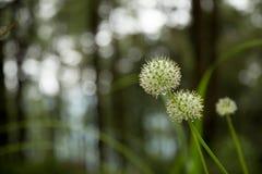 Beautiful Allium tuberosum flowers and dew drops. Stock Images
