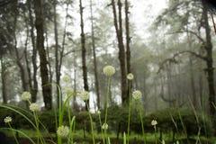 Beautiful Allium tuberosum flowers and dew drops. Stock Photo
