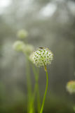 Beautiful Allium tuberosum flowers and dew drops. Royalty Free Stock Images