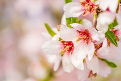 Beautiful Almond Blossoms On The Almont Tree Branch Royalty Free Stock Images
